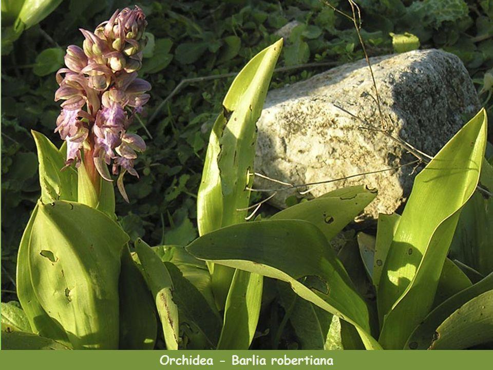 Verbascum arcturus-rodzaj dziewanny gatunek endemiczny Orchidee z Krety, małe i piękne, imitują owady aby je przyciągać