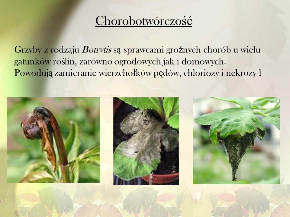 Chorobotwórczo ść Grzyby z rodzaju Botrytis s ą sprawcami gro ź nych chorób u wielu gatunków ro ś lin, zarówno ogrodowych jak i domowych. Powoduj ą za