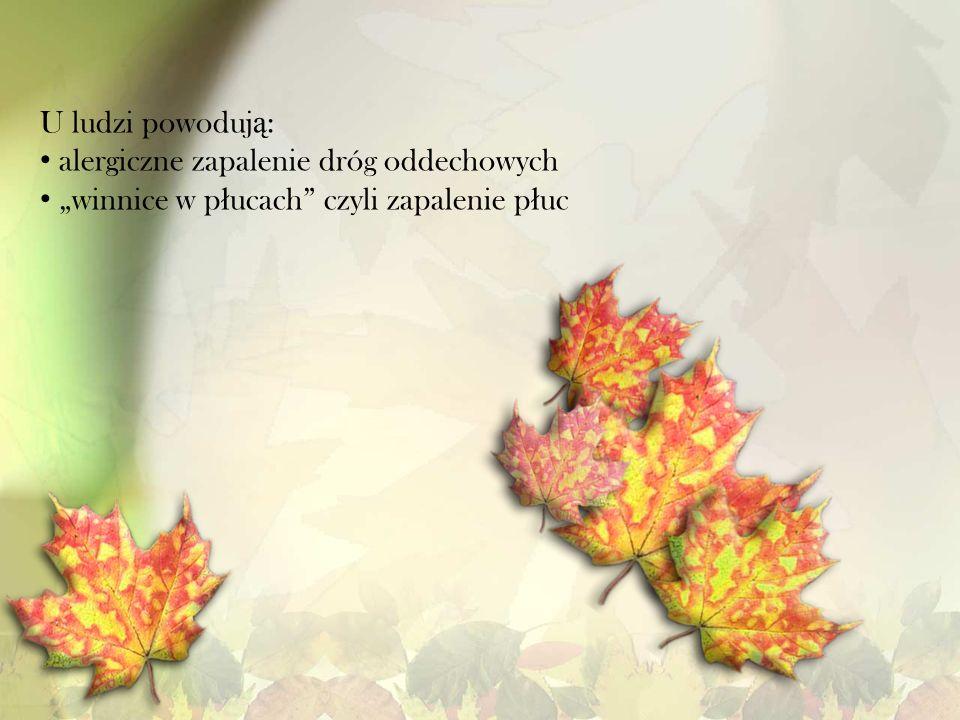 U ludzi powoduj ą : alergiczne zapalenie dróg oddechowych winnice w p ł ucach czyli zapalenie p ł uc