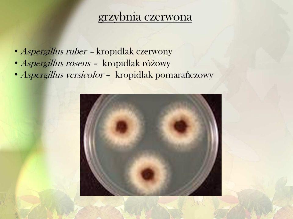 grzybnia czerwona Aspergillus ruber – kropidlak czerwony Aspergillus roseus – kropidlak ró ż owy Aspergillus versicolor – kropidlak pomara ń czowy
