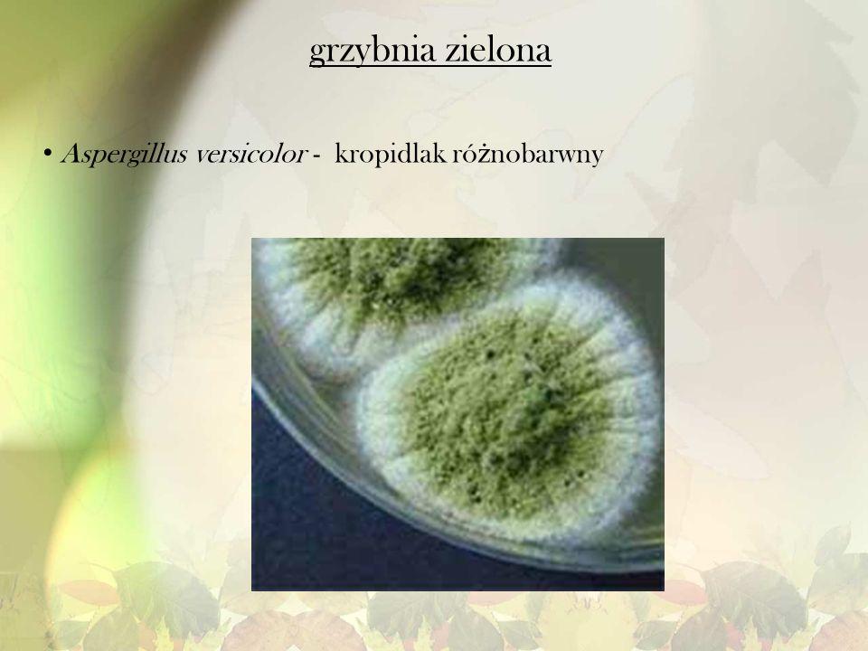 grzybnia zielona Aspergillus versicolor - kropidlak ró ż nobarwny