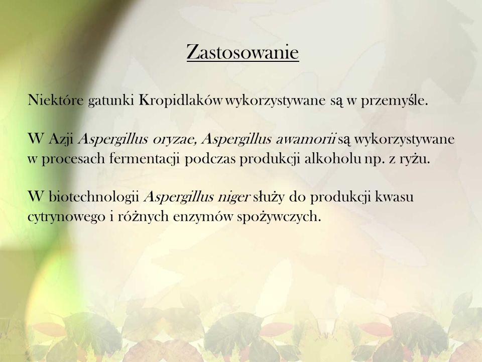 Zastosowanie Niektóre gatunki Kropidlaków wykorzystywane s ą w przemy ś le. W Azji Aspergillus oryzae, Aspergillus awamorii s ą wykorzystywane w proce