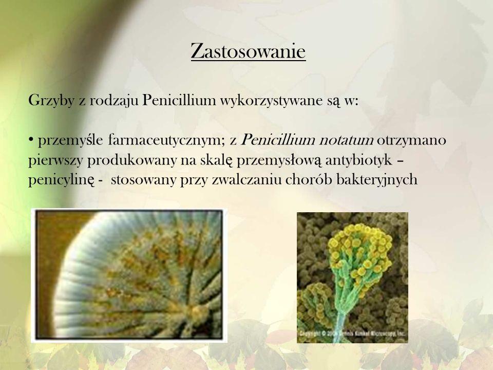 Zastosowanie Grzyby z rodzaju Penicillium wykorzystywane s ą w: przemy ś le farmaceutycznym; z Penicillium notatum otrzymano pierwszy produkowany na s