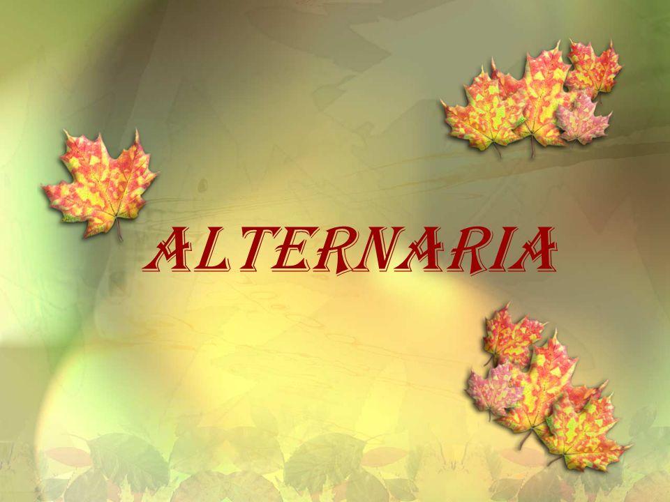 - kosmopolityczne grzyby z rodzaju Alternaria nale żą do klasy grzybów niedoskona ł ych.