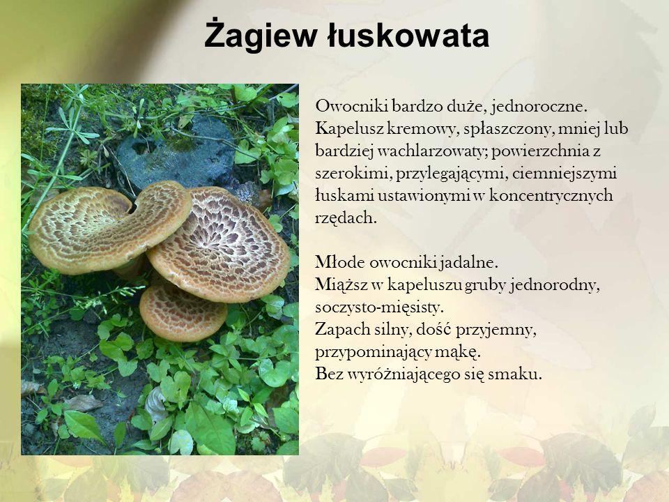 Żagiew łuskowata Owocniki bardzo du ż e, jednoroczne. Kapelusz kremowy, sp ł aszczony, mniej lub bardziej wachlarzowaty; powierzchnia z szerokimi, prz