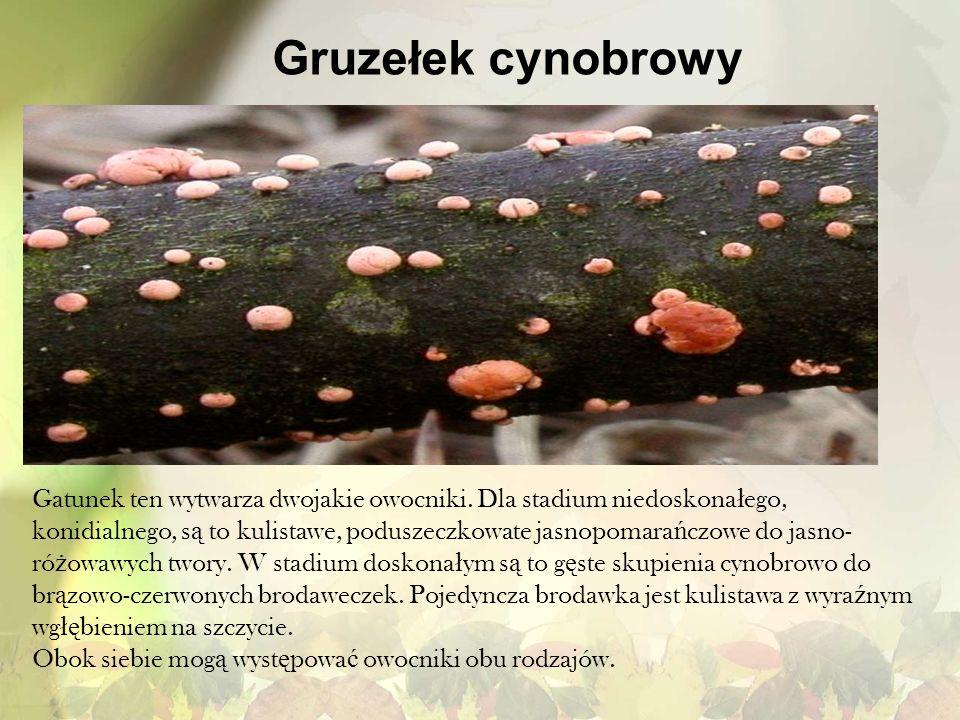 Gruzełek cynobrowy Gatunek ten wytwarza dwojakie owocniki. Dla stadium niedoskona ł ego, konidialnego, s ą to kulistawe, poduszeczkowate jasnopomara ń