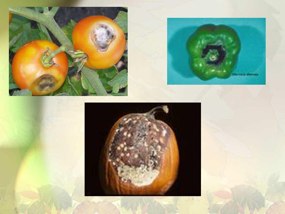 Gruzełek cynobrowy Gatunek ten wytwarza dwojakie owocniki.