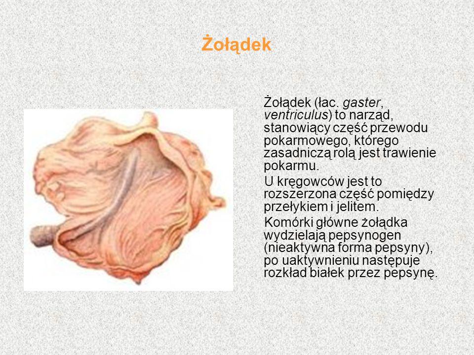 Żołądek Żołądek (łac. gaster, ventriculus) to narząd, stanowiący część przewodu pokarmowego, którego zasadniczą rolą jest trawienie pokarmu. U kręgowc