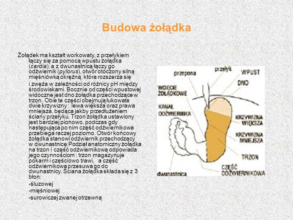 Budowa żołądka Żołądek ma kształt workowaty, z przełykiem łączy się za pomocą wpustu żołądka (cardia), a z dwunastnicą łączy go odźwiernik (pylorus),