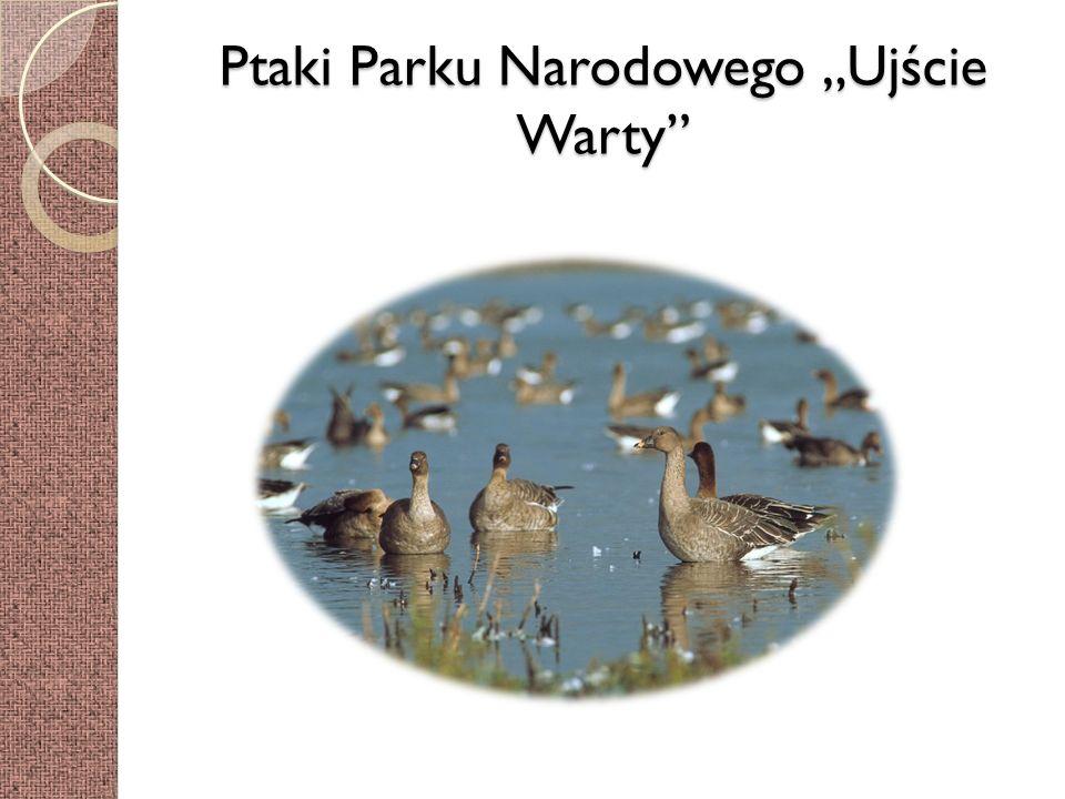 Ptaki Parku Narodowego Ujście Warty