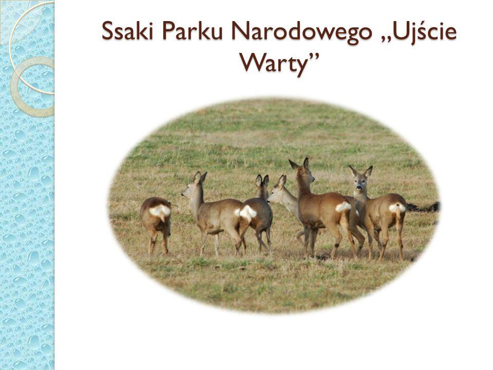 Ssaki Parku Narodowego Ujście Warty