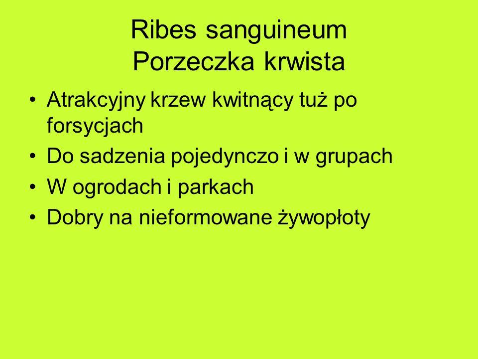 Ribes sanguineum Porzeczka krwista Atrakcyjny krzew kwitnący tuż po forsycjach Do sadzenia pojedynczo i w grupach W ogrodach i parkach Dobry na nieformowane żywopłoty