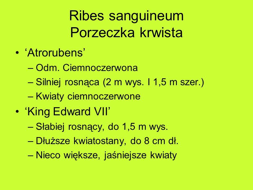 Ribes sanguineum Porzeczka krwista Atrorubens –Odm.