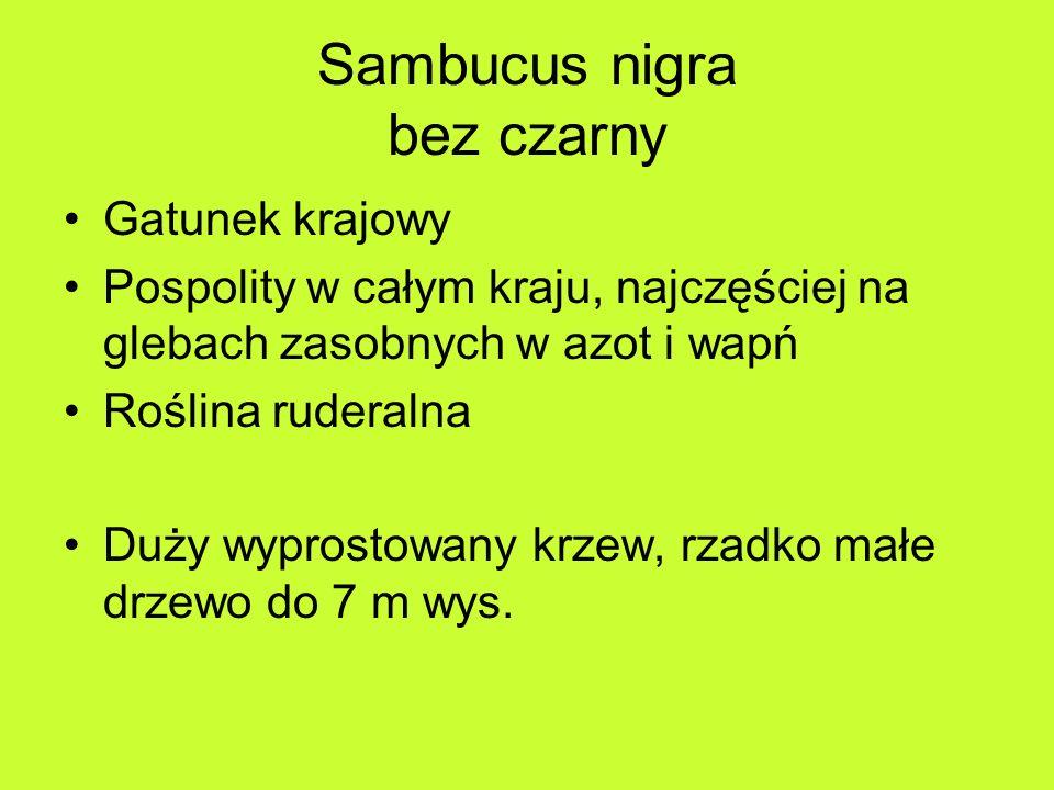 Sambucus nigra bez czarny Gatunek krajowy Pospolity w całym kraju, najczęściej na glebach zasobnych w azot i wapń Roślina ruderalna Duży wyprostowany krzew, rzadko małe drzewo do 7 m wys.