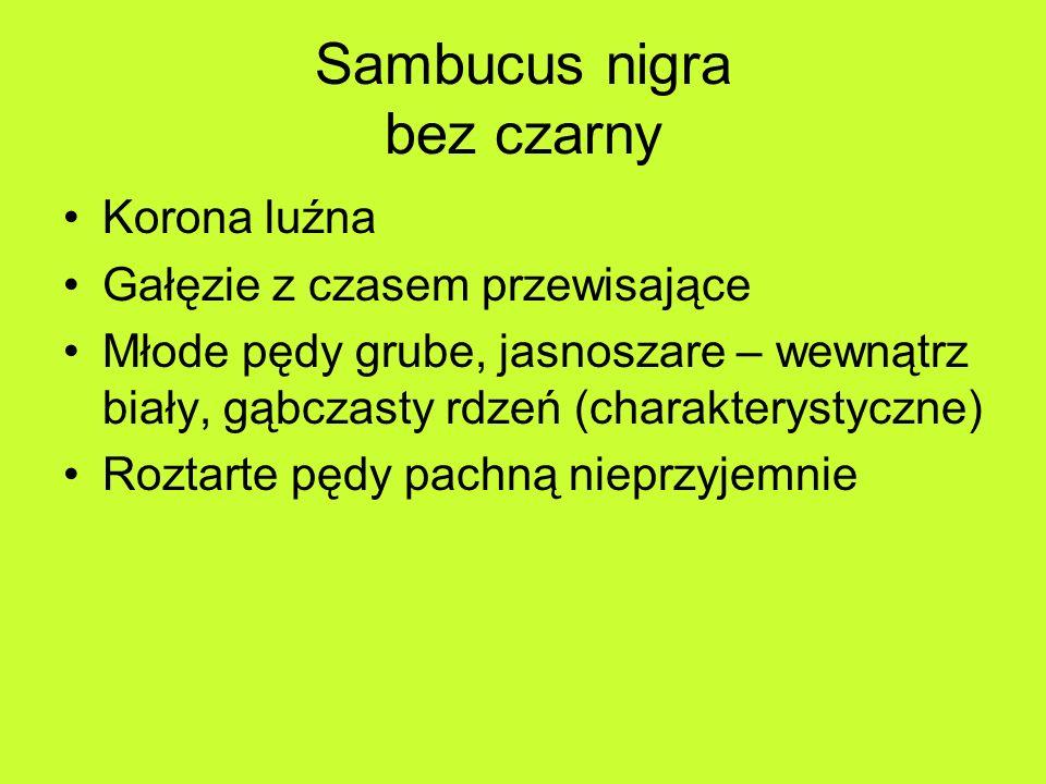 Sambucus nigra bez czarny Korona luźna Gałęzie z czasem przewisające Młode pędy grube, jasnoszare – wewnątrz biały, gąbczasty rdzeń (charakterystyczne) Roztarte pędy pachną nieprzyjemnie
