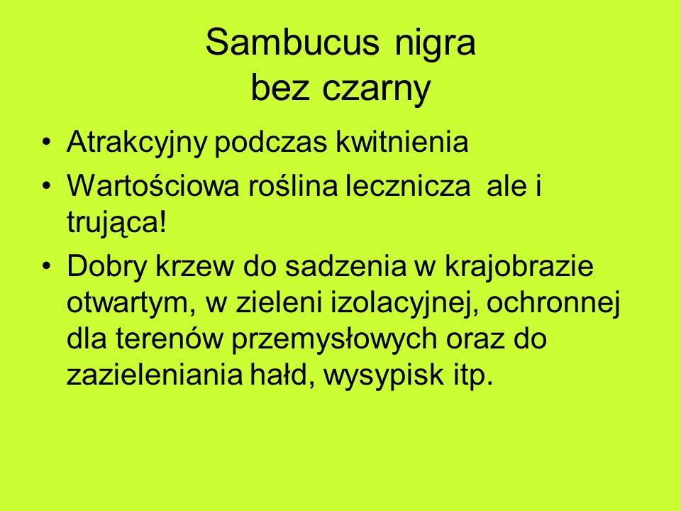 Sambucus nigra bez czarny Atrakcyjny podczas kwitnienia Wartościowa roślina lecznicza ale i trująca.