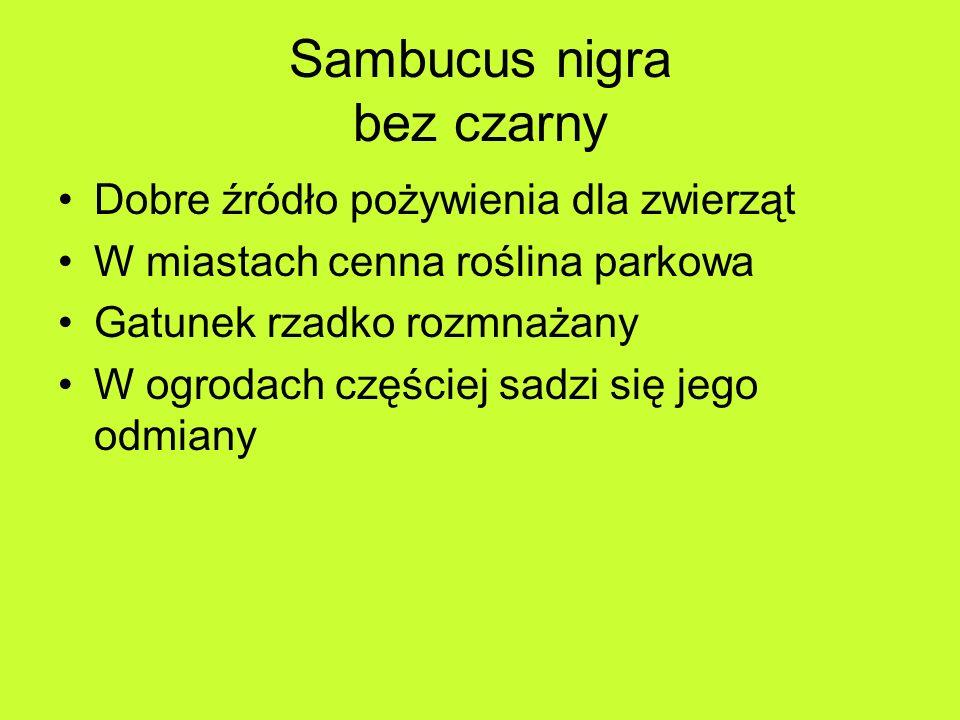 Sambucus nigra bez czarny Dobre źródło pożywienia dla zwierząt W miastach cenna roślina parkowa Gatunek rzadko rozmnażany W ogrodach częściej sadzi się jego odmiany