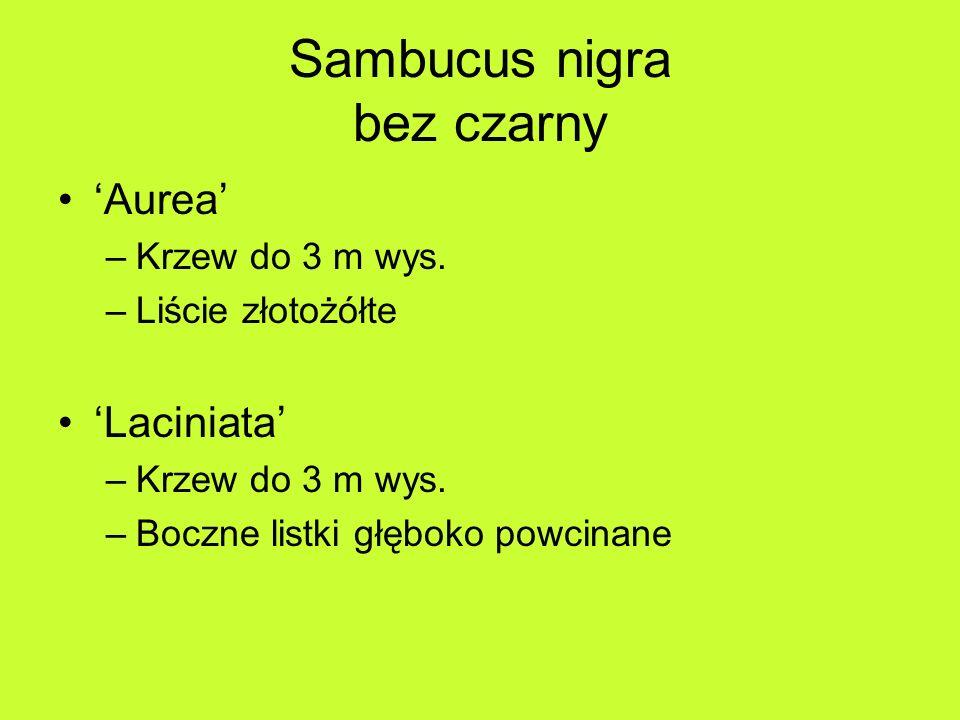 Sambucus nigra bez czarny Aurea –Krzew do 3 m wys.