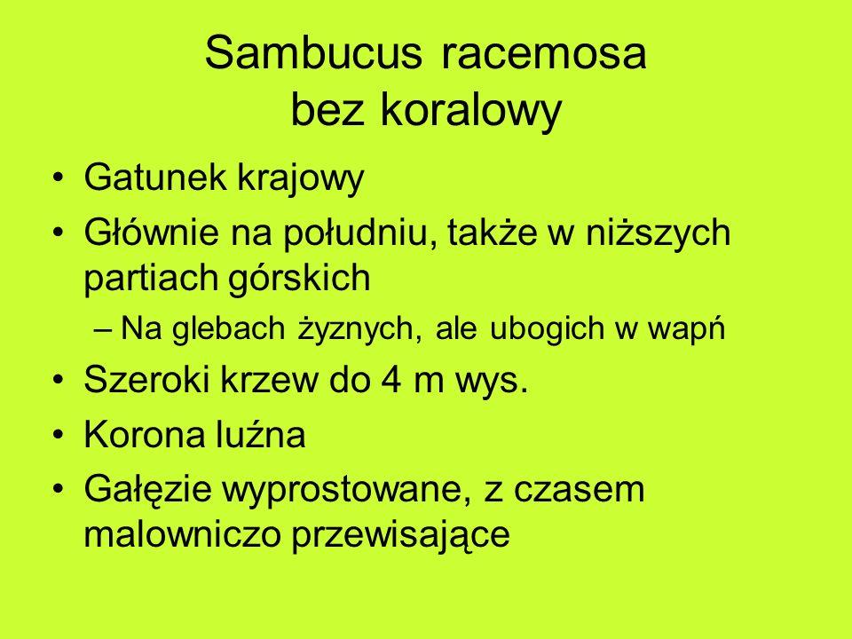 Sambucus racemosa bez koralowy Gatunek krajowy Głównie na południu, także w niższych partiach górskich –Na glebach żyznych, ale ubogich w wapń Szeroki krzew do 4 m wys.
