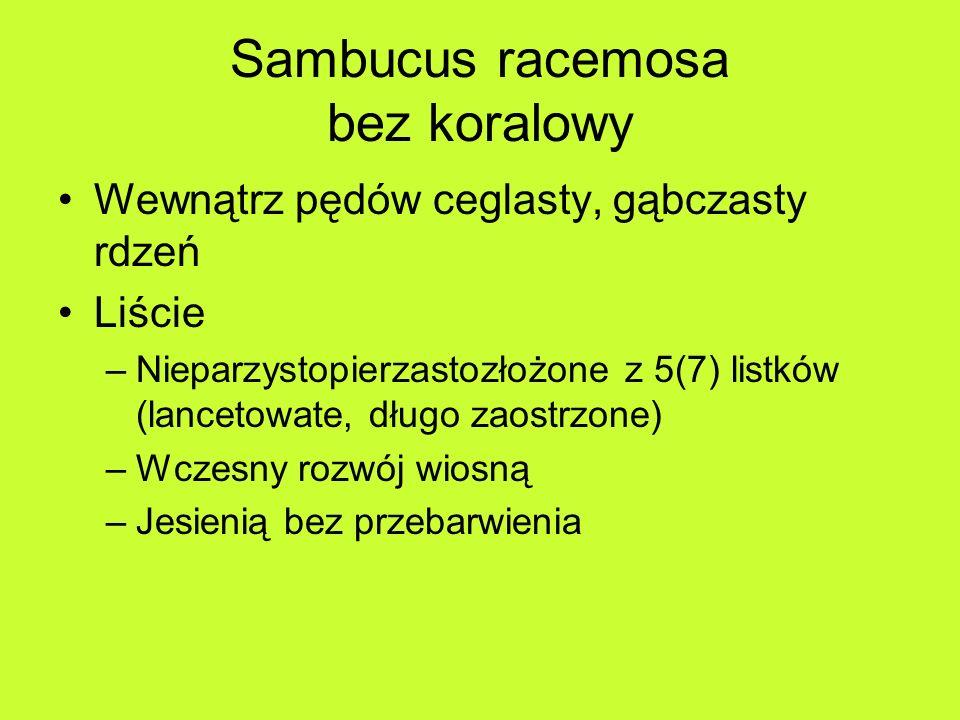 Sambucus racemosa bez koralowy Wewnątrz pędów ceglasty, gąbczasty rdzeń Liście –Nieparzystopierzastozłożone z 5(7) listków (lancetowate, długo zaostrzone) –Wczesny rozwój wiosną –Jesienią bez przebarwienia