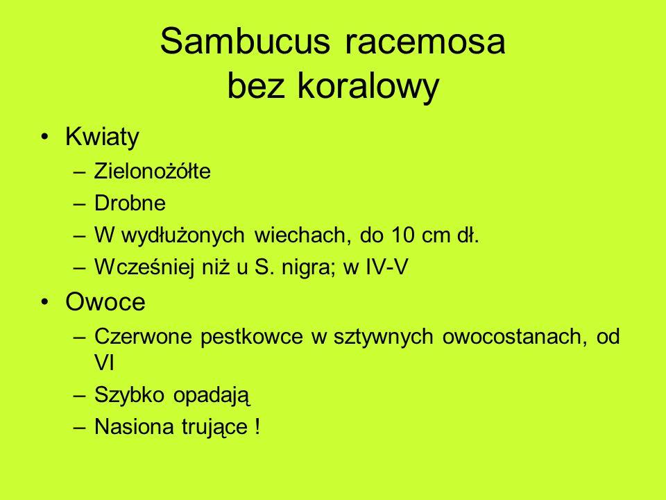 Sambucus racemosa bez koralowy Kwiaty –Zielonożółte –Drobne –W wydłużonych wiechach, do 10 cm dł.