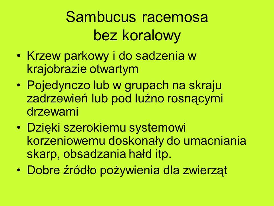 Sambucus racemosa bez koralowy Krzew parkowy i do sadzenia w krajobrazie otwartym Pojedynczo lub w grupach na skraju zadrzewień lub pod luźno rosnącymi drzewami Dzięki szerokiemu systemowi korzeniowemu doskonały do umacniania skarp, obsadzania hałd itp.