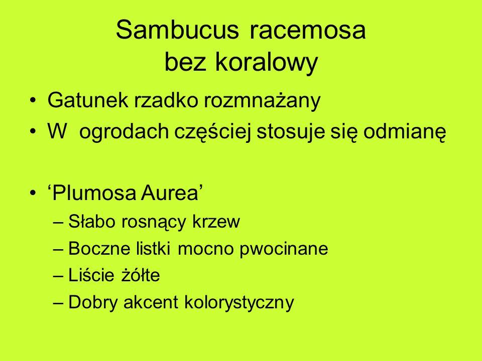 Sambucus racemosa bez koralowy Gatunek rzadko rozmnażany W ogrodach częściej stosuje się odmianę Plumosa Aurea –Słabo rosnący krzew –Boczne listki mocno pwocinane –Liście żółte –Dobry akcent kolorystyczny