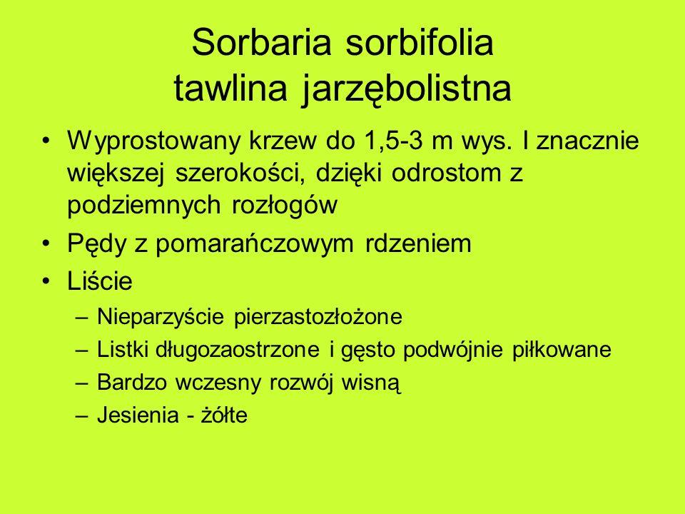 Sorbaria sorbifolia tawlina jarzębolistna Wyprostowany krzew do 1,5-3 m wys.