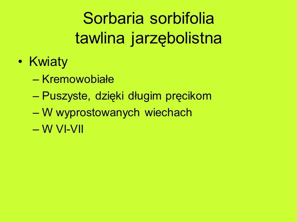 Sorbaria sorbifolia tawlina jarzębolistna Kwiaty –Kremowobiałe –Puszyste, dzięki długim pręcikom –W wyprostowanych wiechach –W VI-VII