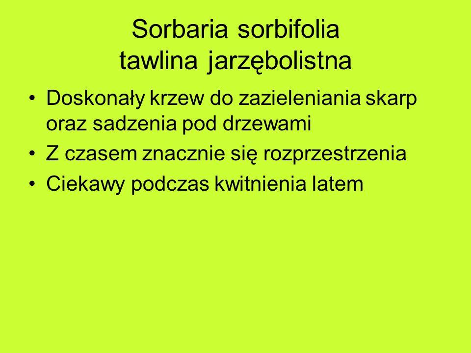 Sorbaria sorbifolia tawlina jarzębolistna Doskonały krzew do zazieleniania skarp oraz sadzenia pod drzewami Z czasem znacznie się rozprzestrzenia Ciekawy podczas kwitnienia latem