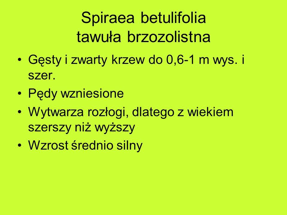 Spiraea betulifolia tawuła brzozolistna Gęsty i zwarty krzew do 0,6-1 m wys.