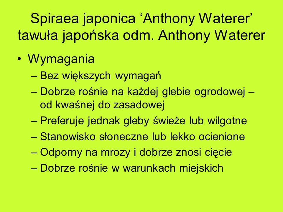 Spiraea japonica Anthony Waterer tawuła japońska odm.