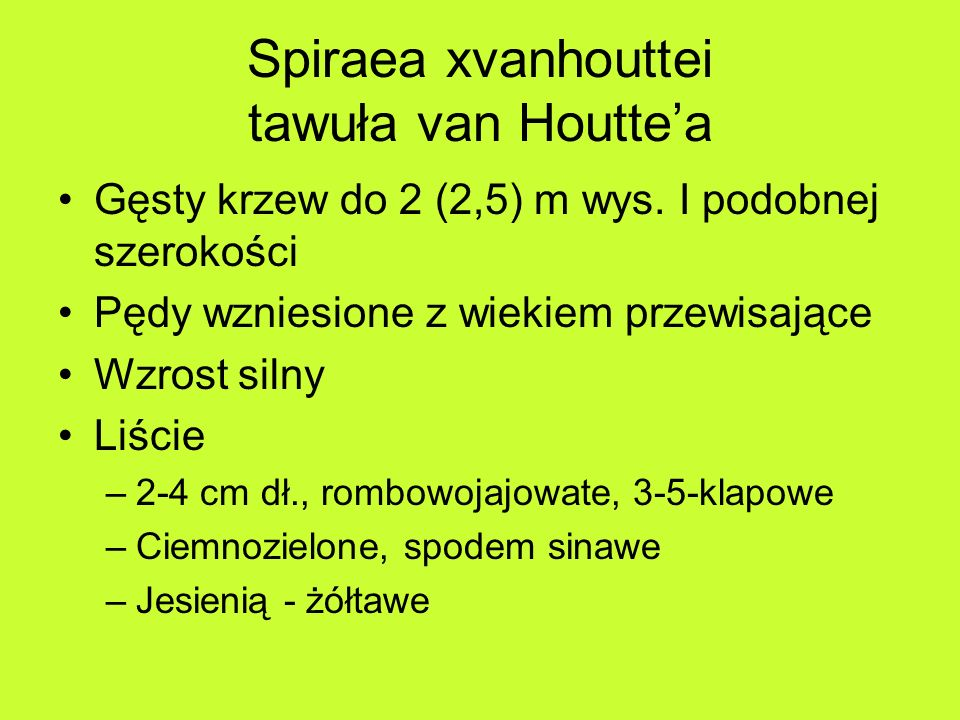 Spiraea xvanhouttei tawuła van Houttea Gęsty krzew do 2 (2,5) m wys.