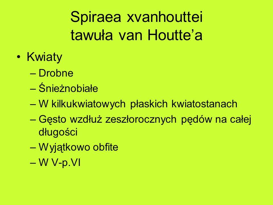 Spiraea xvanhouttei tawuła van Houttea Kwiaty –Drobne –Śnieżnobiałe –W kilkukwiatowych płaskich kwiatostanach –Gęsto wzdłuż zeszłorocznych pędów na całej długości –Wyjątkowo obfite –W V-p.VI