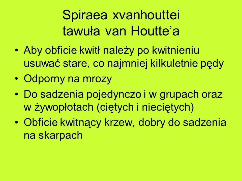 Spiraea xvanhouttei tawuła van Houttea Aby obficie kwitł należy po kwitnieniu usuwać stare, co najmniej kilkuletnie pędy Odporny na mrozy Do sadzenia pojedynczo i w grupach oraz w żywopłotach (ciętych i nieciętych) Obficie kwitnący krzew, dobry do sadzenia na skarpach
