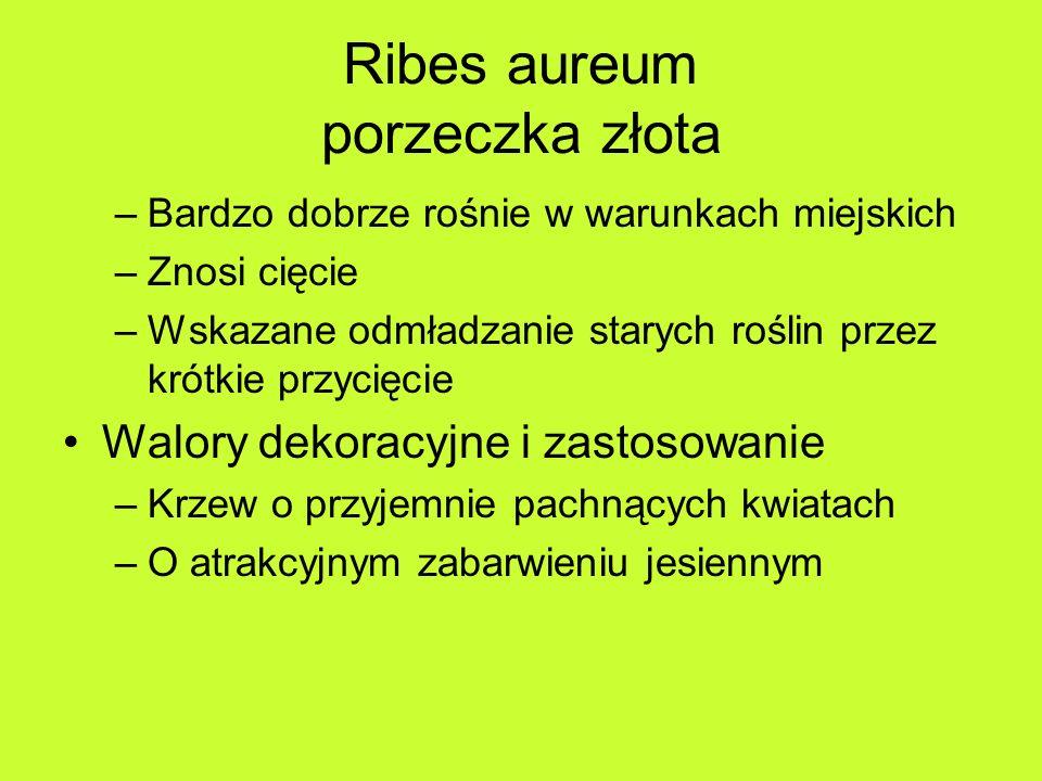 Ribes aureum porzeczka złota –Bardzo dobrze rośnie w warunkach miejskich –Znosi cięcie –Wskazane odmładzanie starych roślin przez krótkie przycięcie Walory dekoracyjne i zastosowanie –Krzew o przyjemnie pachnących kwiatach –O atrakcyjnym zabarwieniu jesiennym
