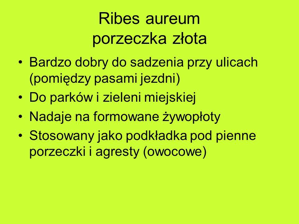 Ribes aureum porzeczka złota Bardzo dobry do sadzenia przy ulicach (pomiędzy pasami jezdni) Do parków i zieleni miejskiej Nadaje na formowane żywopłoty Stosowany jako podkładka pod pienne porzeczki i agresty (owocowe)