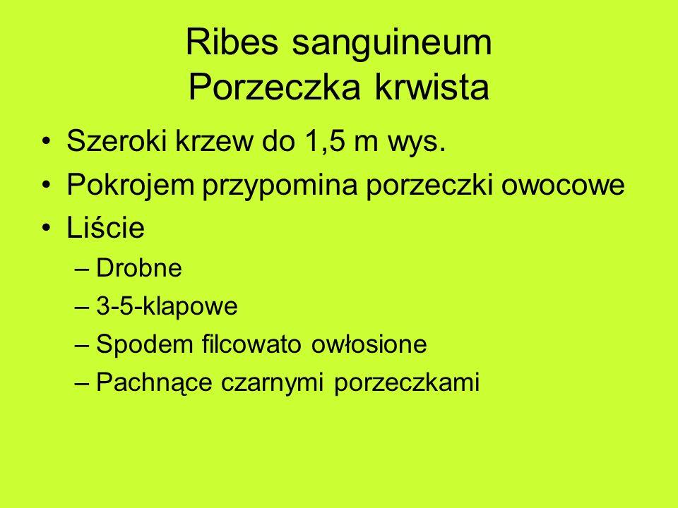 Ribes sanguineum Porzeczka krwista Szeroki krzew do 1,5 m wys.