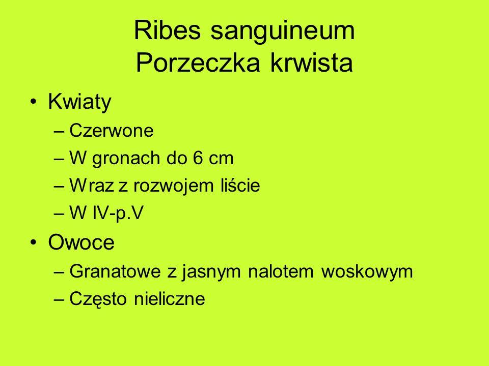 Ribes sanguineum Porzeczka krwista Kwiaty –Czerwone –W gronach do 6 cm –Wraz z rozwojem liście –W IV-p.V Owoce –Granatowe z jasnym nalotem woskowym –Często nieliczne