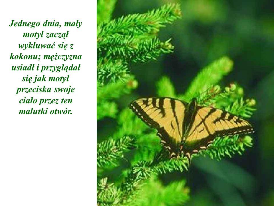 Jednego dnia, mały motyl zaczął wykluwać się z kokonu; mężczyzna usiadł i przyglądał się jak motyl przeciska swoje ciało przez ten malutki otwór.