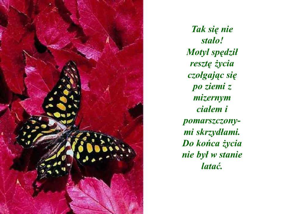 Tak się nie stało! Motyl spędził resztę życia czołgając się po ziemi z mizernym ciałem i pomarszczony- mi skrzydłami. Do końca życia nie był w stanie