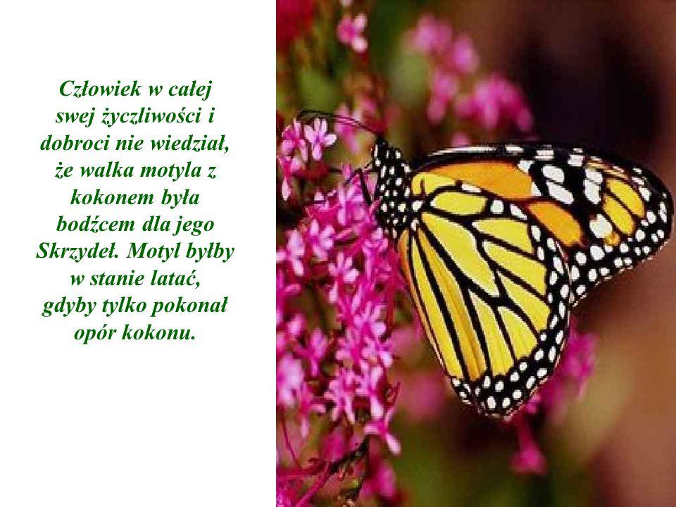 Człowiek w całej swej życzliwości i dobroci nie wiedział, że walka motyla z kokonem była bodźcem dla jego Skrzydeł. Motyl byłby w stanie latać, gdyby