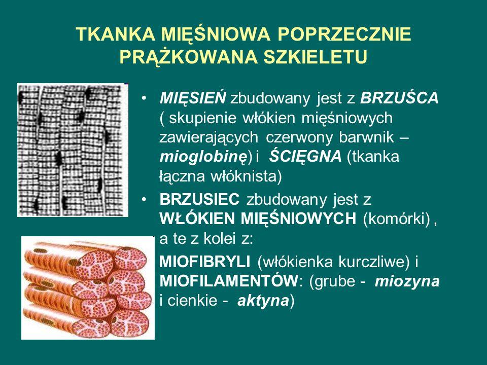 TKANKA MIĘŚNIOWA POPRZECZNIE PRĄŻKOWANA SZKIELETU MIĘSIEŃ zbudowany jest z BRZUŚCA ( skupienie włókien mięśniowych zawierających czerwony barwnik – mioglobinę) i ŚCIĘGNA (tkanka łączna włóknista) BRZUSIEC zbudowany jest z WŁÓKIEN MIĘŚNIOWYCH (komórki), a te z kolei z: MIOFIBRYLI (włókienka kurczliwe) i MIOFILAMENTÓW: (grube - miozyna i cienkie - aktyna)