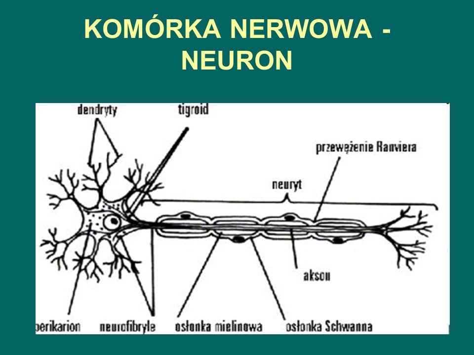 KOMÓRKA NERWOWA - NEURON