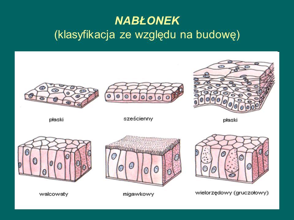 NABŁONEK - PODZIAŁ ZE WZGLĘDU NA FUNKCJE POKRYWAJĄCY: naskórek, serce, naczynia krwionośne GRUCZOŁOWY: ślinianki, trzustka, wątroba, gruczoły łojowe w skórze ZMYSŁOWY: kubki smakowe, błona węchowa nosa, ślimak w uchu, siatkówka oka