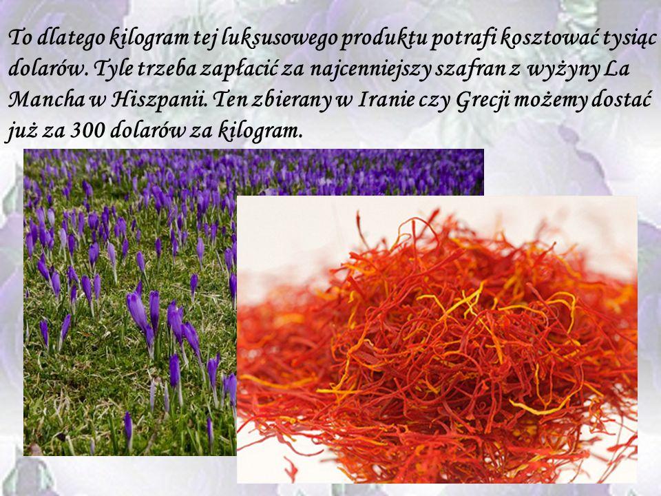 Szafran To najbardziej ekskluzywna przyprawa na świecie. I choć krokus purpurowy, z którego się go uzyskuje, nie jest kwiatem rzadkim, żmudna produkcj