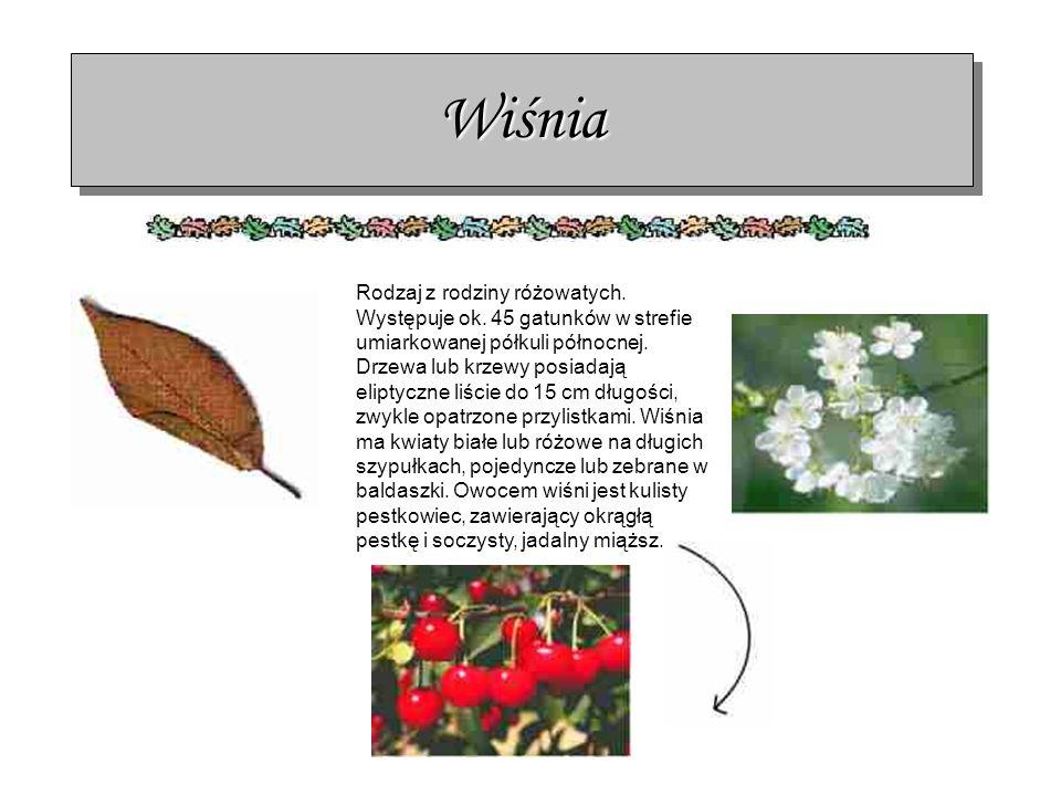 WiśniaWiśnia Rodzaj z rodziny różowatych. Występuje ok. 45 gatunków w strefie umiarkowanej półkuli północnej. Drzewa lub krzewy posiadają eliptyczne l