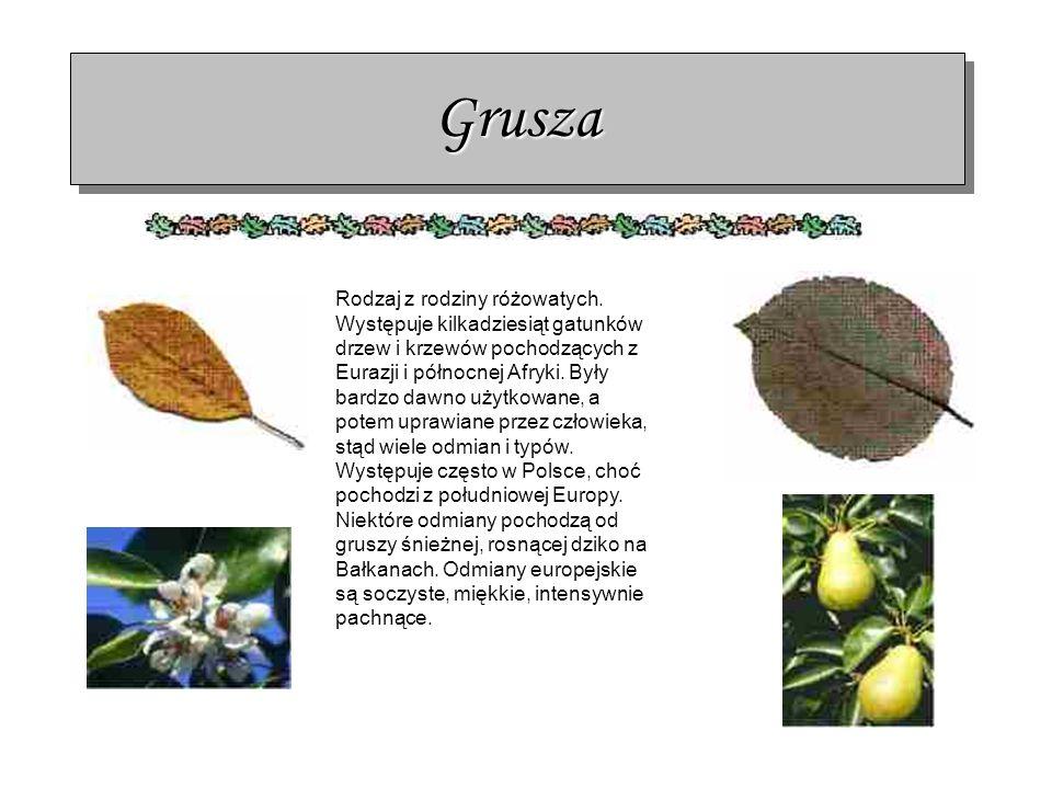 GruszaGrusza Rodzaj z rodziny różowatych. Występuje kilkadziesiąt gatunków drzew i krzewów pochodzących z Eurazji i północnej Afryki. Były bardzo dawn