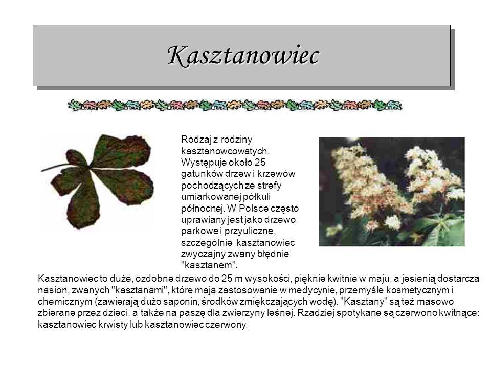 KasztanowiecKasztanowiec Rodzaj z rodziny kasztanowcowatych. Występuje około 25 gatunków drzew i krzewów pochodzących ze strefy umiarkowanej półkuli p