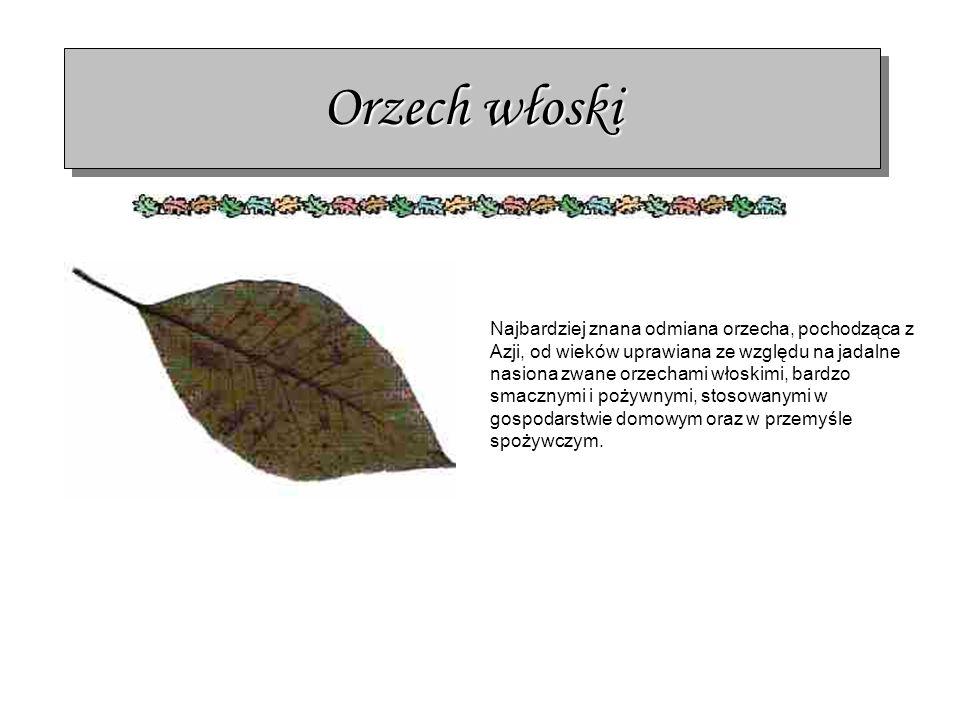 Orzech włoski Najbardziej znana odmiana orzecha, pochodząca z Azji, od wieków uprawiana ze względu na jadalne nasiona zwane orzechami włoskimi, bardzo